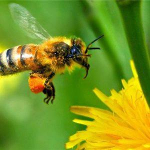 اهمیت زنبورعسل