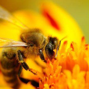 اهمیت زنبور عسل در گرده افشانی