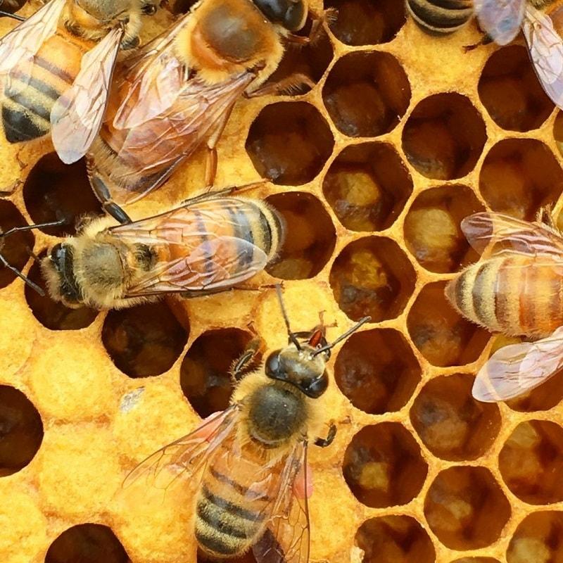 درپوش گذاری حجره های پراز عسل، گرده یا لارو