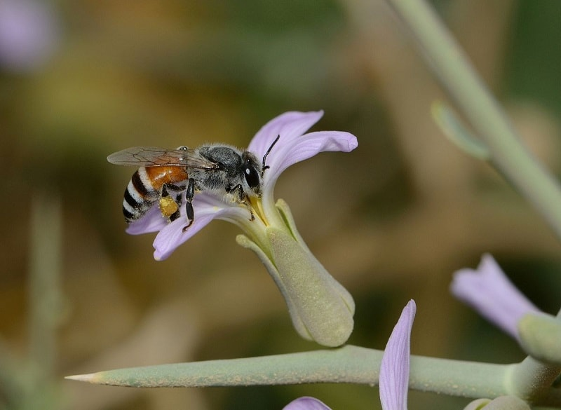 ملکه زنبور عسل