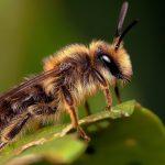 حس بویایی زنبورعسل