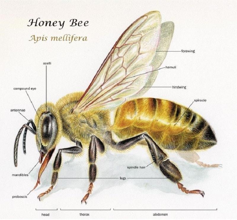 کالبدشناسی زنبورعسل