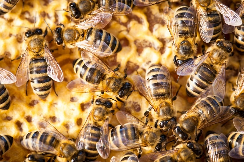 فرمونهای زنبورعسل