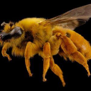 کالبدشناسی داخلی زنبورعسل