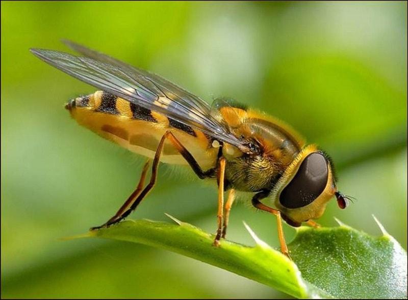 قدرت حس بویایی زنبور عسل