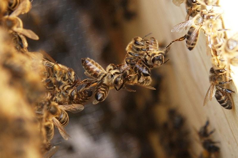 بیماری زنبور عسل