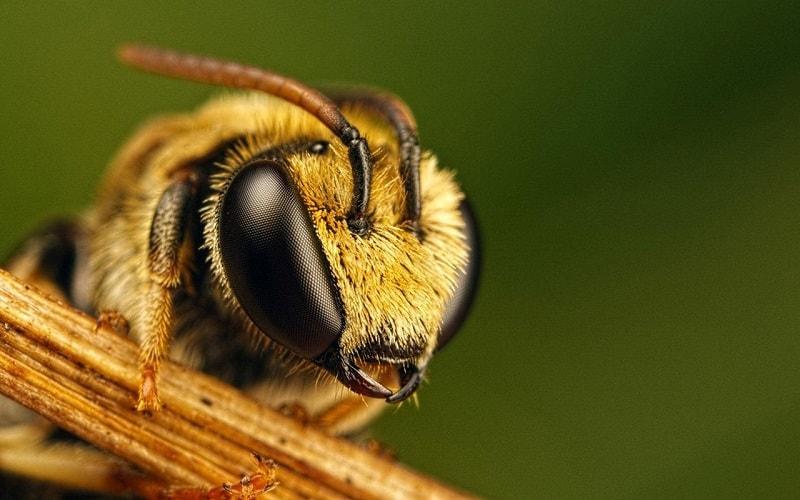 ارتباط ساختمان بدن زنبورعسل با سن زنبورعسل و کار آن