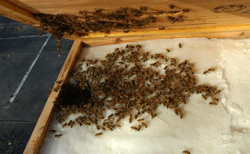 تغذیه پاییزه زنبوران عسل