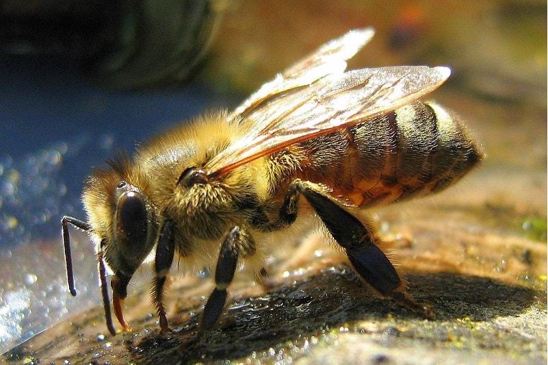 مدفوع زنبور