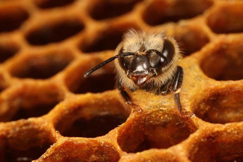تاریخچه زندگی زنبور عسل کارگر