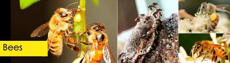 زنبور مزرعهرو