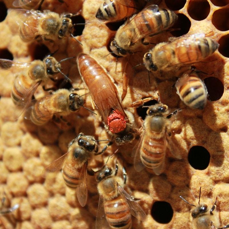 زنبورداری در فصل پاییز  تعویض ملکه