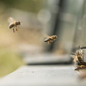 حس بینایی زنبورعسل