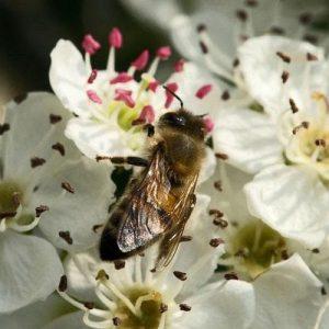 تغذیه بهاره زنبورها