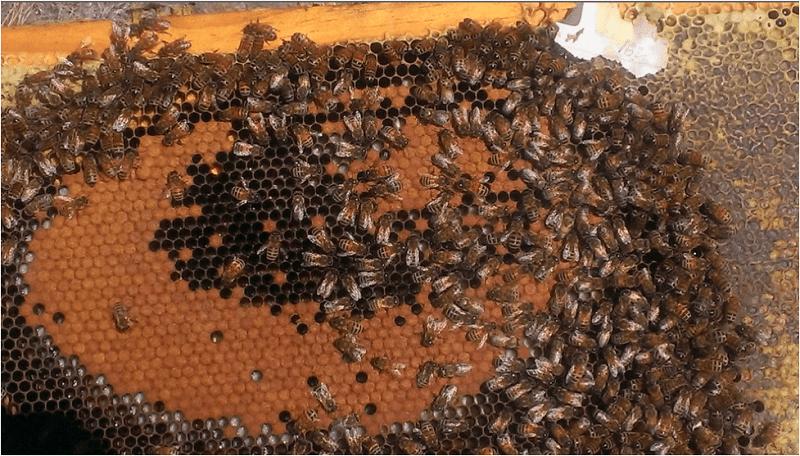 زندگی کلنی زنبور عسل