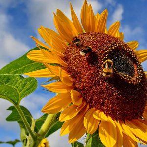 گل عسل دهنده