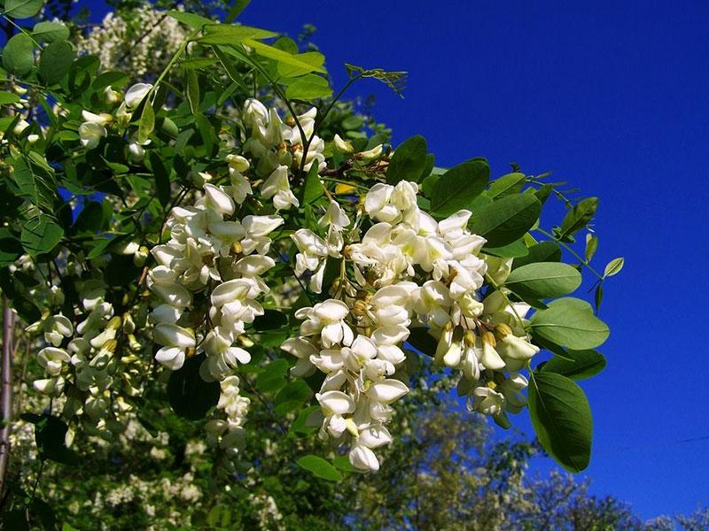 گیاهان عسل دهنده