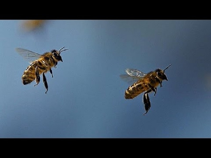 زبان رقص زنبوران