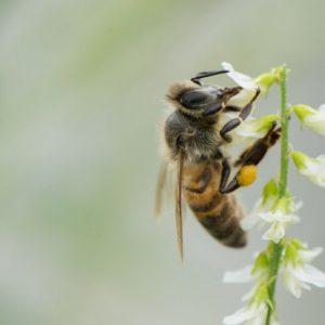 فرمون زنبور عسل