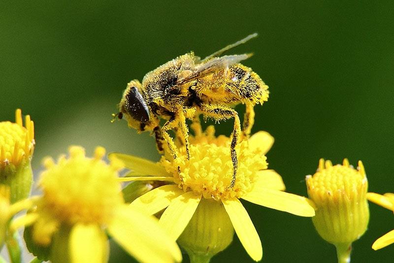 گرده افشانی زنبور عسل