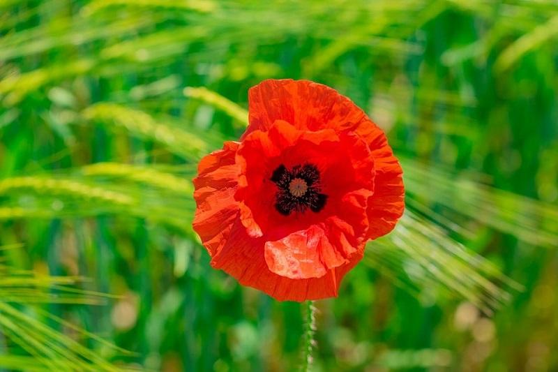 گرده افشانی گلهای قرمز