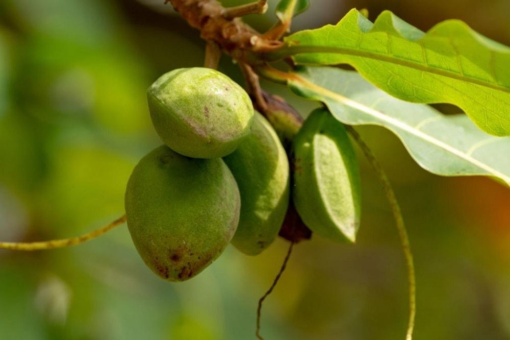 درخت لوز