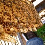 بیماری های خطرناک زنبورعسل