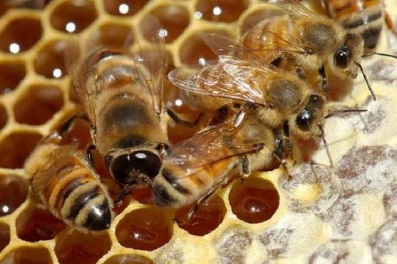 روش های اصلاح کندوهای بی ملکه شده یا یتیمدر پرورش زنبور عسل