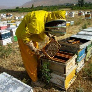 پرورش زنبور عسل در ایران -1