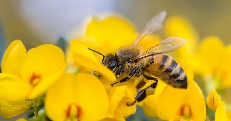 تاریخچه زنبور عسل و قاره های جدید
