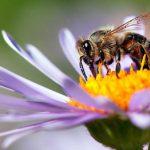 رقص زنبوران