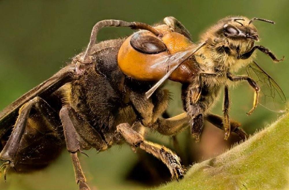 شکارچی های زنبور عسل