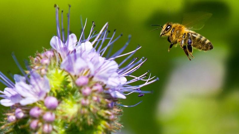 تاریخچه زندگی زنبور عسل در افریقا