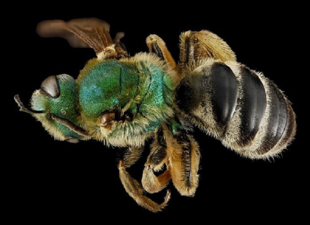 سن زنبورعسل