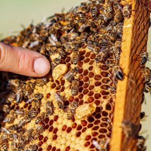 تاریخچه زنبور عسل