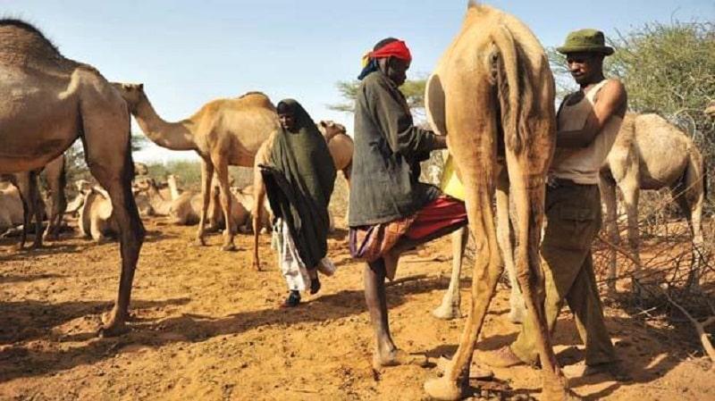دوشیدن شیر شتر