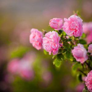 گل محمدی ، گل گلاب ، گل سرخ
