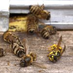 زنبورهای وحشی