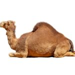 wonders-of-camel-creation
