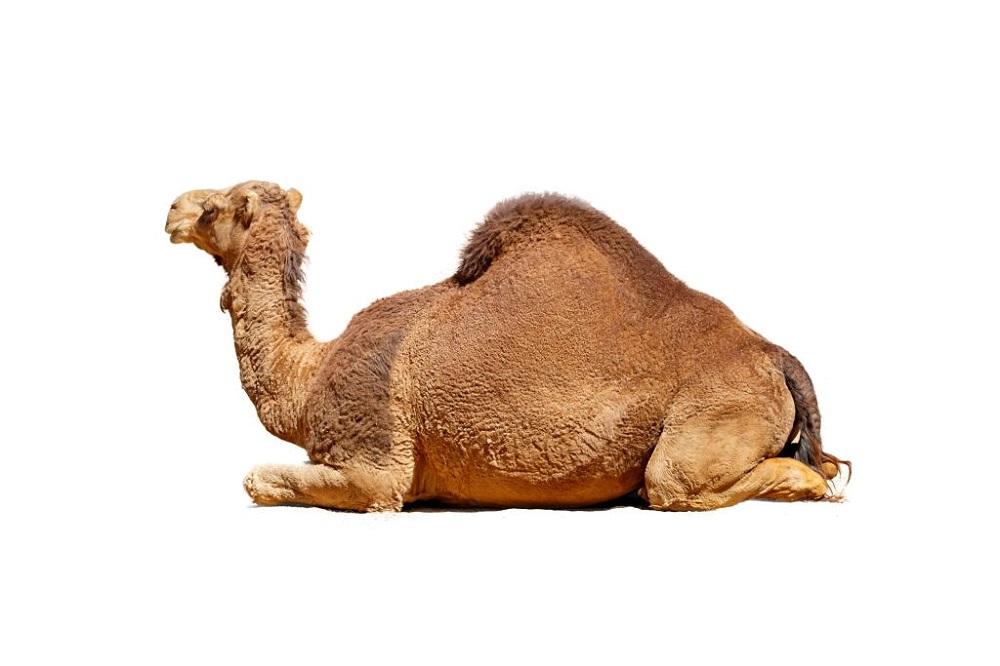 wonders-of-camel-creation