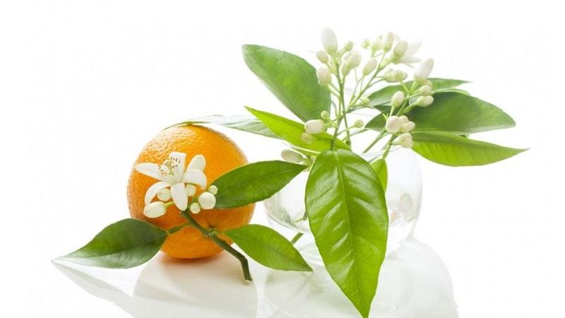 سابقه تاریخی درخت نارنج