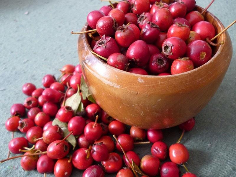 میوه سرخ ولیک قابض است