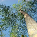 درخت بان