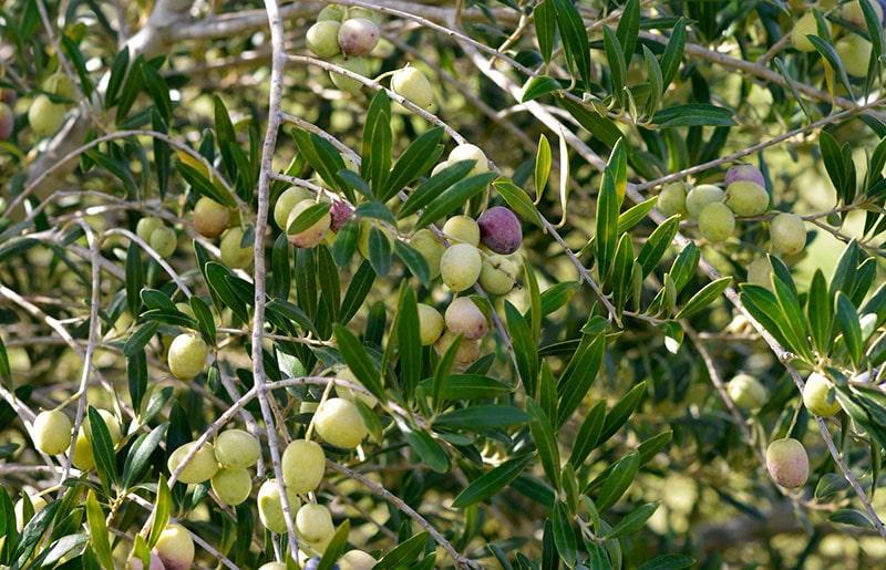 نحوه کاشت و تکثیر درخت زیتون