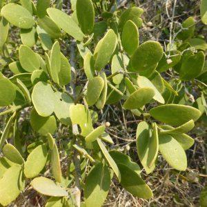 درخت اراک