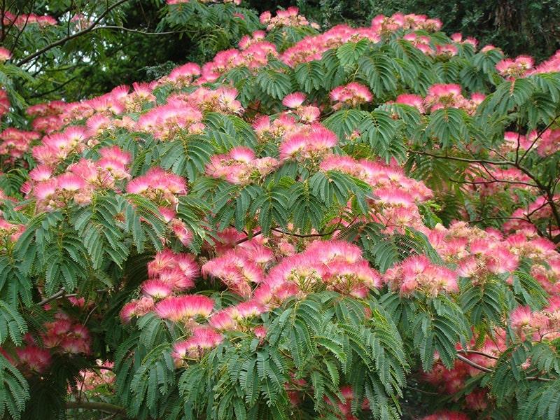 درخت ابریشم-1