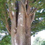 درخت آزاد