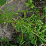 گیاه بلسکی