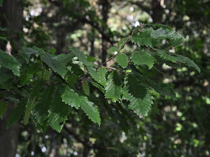 برگ بلوط
