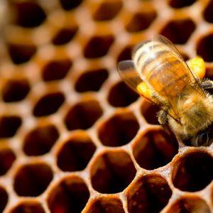 فعالیت های زنبور عسل
